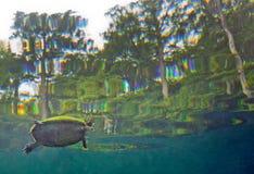 Cooter полуострова - отделанный поверхность дышать Стоковое Изображение RF