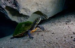 Cooter de péninsule - Morrison jaillit caverne Photo stock