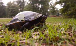 Cooter turtle Royalty Free Stock Photography