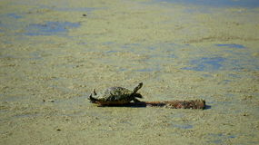 Cooter Turtle Royalty Free Stock Images
