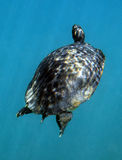 Cooter Turtle Surfacing Royalty Free Stock Photos