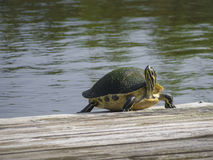 Cooter Turtle Stock Images