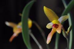 Cootesii de Bulbophyllum Fotografía de archivo