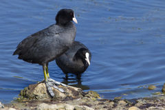 Coots Royalty Free Stock Photo