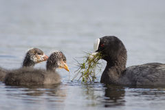 coots Immagine Stock