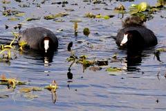 coots amerykański americana fulica Zdjęcie Royalty Free