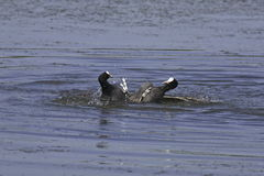 Coots fight. On a blue lake Stock Photo