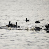 Coots fighting on water in dawn light in Spring Royalty Free Stock Photo