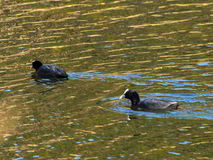 Coots. Float on the water in search of food Stock Photos