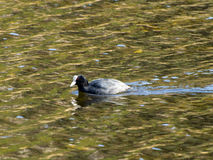 Coots. Float on the water in search of food Royalty Free Stock Images