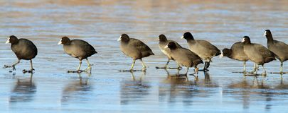Coots following the leader Stock Image