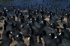 Coots invasion. American coots bird overpopulation at a lake Stock Photography