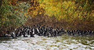 Coots on the lake (fulica atra) Stock Photography
