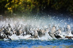 Coots on the lake (fulica atra) Stock Photos
