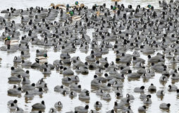 Coots. Are medium-sized water birds. They are collecting into herds because together it is easier for them to find the food and warm oneself up Royalty Free Stock Image