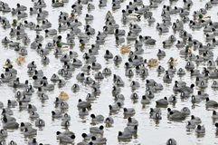Coots. Are medium-sized water birds. They are collecting into herds because together it is easier for them to find the food and warm oneself up Royalty Free Stock Photography