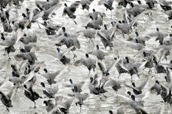 Coots. Are medium-sized water birds. They are collecting into herds because together it is easier for them to find the food and warm oneself up Royalty Free Stock Photos