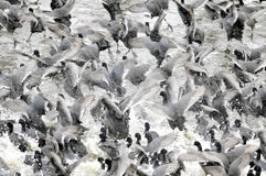 Coots. Are medium-sized water birds. They are collecting into herds because together it is easier for them to find the food and warm oneself up Royalty Free Stock Photo
