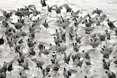 Coots. Are medium-sized water birds. They are collecting into herds because together it is easier for them to find the food and warm oneself up Stock Image