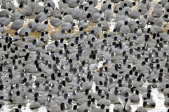 Coots. Are medium-sized water birds. They are collecting into herds because together it is easier for them to find the food and warm oneself up Stock Photos