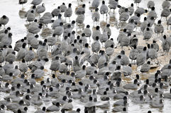 Coots. Are medium-sized water birds. They are collecting into herds because together it is easier for them to find the food and warm oneself up Stock Images