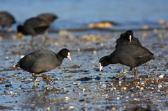 Coots meeting on beach Royalty Free Stock Photography