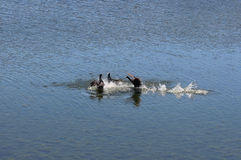 Coots playing in water Royalty Free Stock Image
