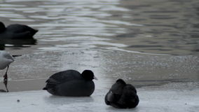 Coots Sitting Near Ice Hole stock video
