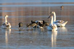 Coots and swans flock standing on ice Stock Images