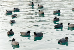 Coots in water pond Stock Images