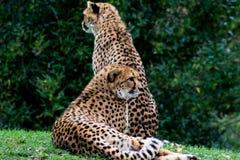 Coouple van jachtluipaarden heeft een rust in groen gras stock afbeeldingen