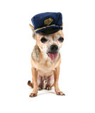 Cop dog. A cute chihuahua on a white background Royalty Free Stock Image