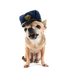 Cop dog. A cute chihuahua on a white background Stock Photography