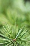 Copa de árbol del pino 2778 (aéreos) Fotografía de archivo