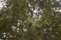 Copa de árbol del pino 2778 (aéreos) Imagen de archivo