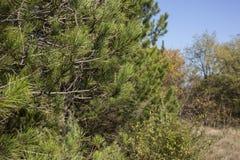 Copa de árbol del pino 2778 (aéreos) fotos de archivo