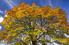 Copa de árbol viva del otoño contra un backround del cielo azul imagenes de archivo