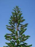 Copa de árvore do pinheiro no fundo do céu azul Imagem de Stock