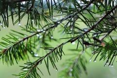 Copa de árvore do pinho 2778 (aéreos) imagens de stock royalty free