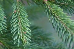 Copa de árvore do pinho 2778 (aéreos) Imagens de Stock