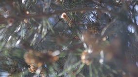 Copa de árvore do pinho 2778 (aéreos) video estoque