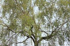 Copa de árvore velha do vidoeiro Imagem de Stock Royalty Free