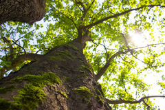 Copa de árvore verde Foto de Stock Royalty Free