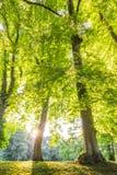 Copa de árvore verde da floresta com os raios de sol horizontais Foto de Stock