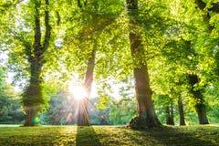 Copa de árvore verde da floresta com os raios de sol verticais Foto de Stock