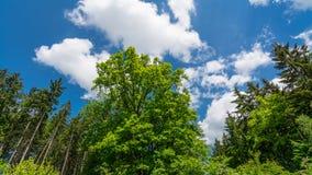 Copa de árvore verde fresca do carvalho em uma floresta ou em um parque da mola Quercus Robur foto de stock