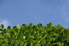 Copa de árvore verde na luz do sol Imagem de Stock