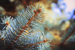 Copa de árvore do pinho 2778 (aéreos) Foto de Stock