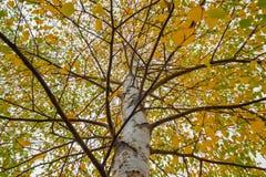 Copa del abedul cubierta en hojas de otoño Imágenes de archivo libres de regalías