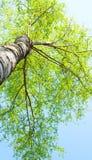 Copa del abedul en fondo del cielo azul Imagen de archivo libre de regalías